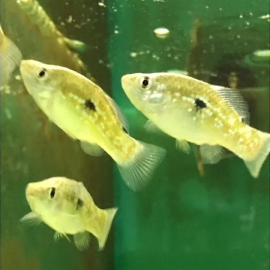 FISH - FLORIDA FLAG FISH