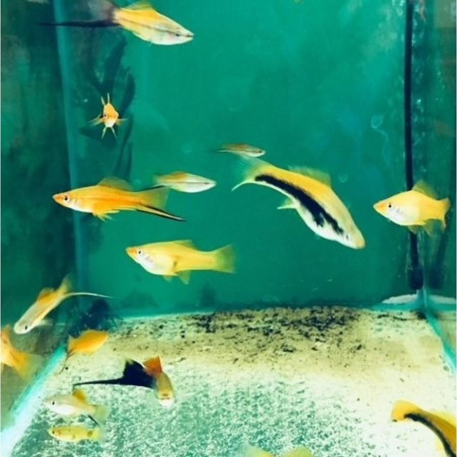 FISH - SWORDTAILS