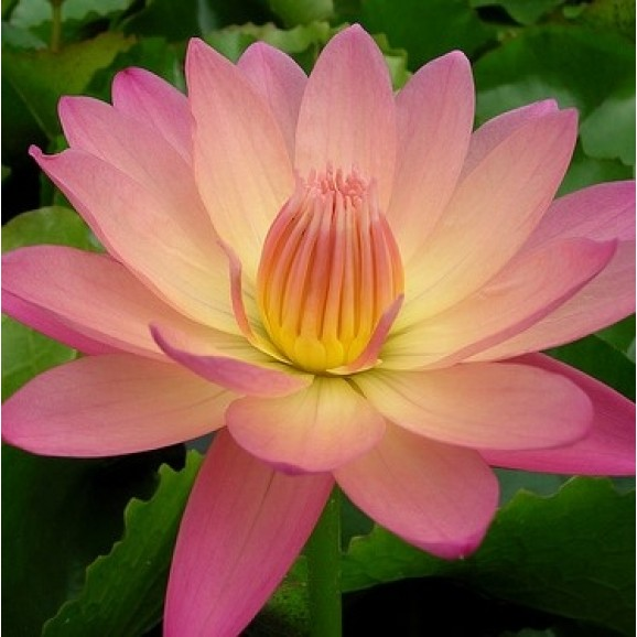 AFTERGLOW - TROPICAL WATER LILY PREMIUM $59.95