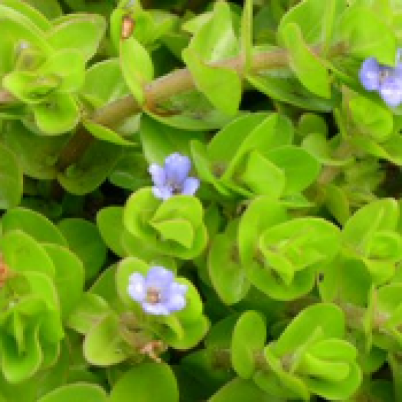 WATER PLANTS - BACOPA CAROLINIANA $11.95