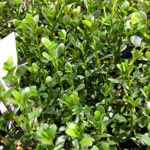 WATER PLANTS - BACOPA MONIERRE $11.95