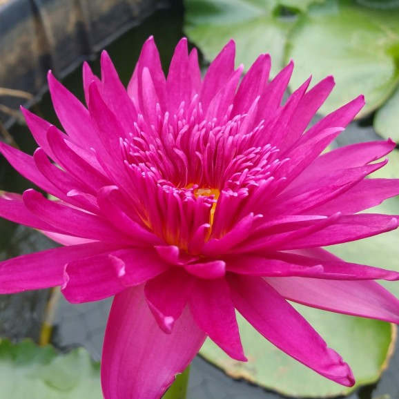 BULLSEYE - TROPICAL WATER LILY PREMIUM $59.95