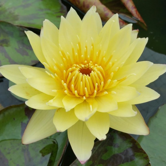 CARLAS SONSHINE - TROPICAL WATER LILY PREMIUM $59.95