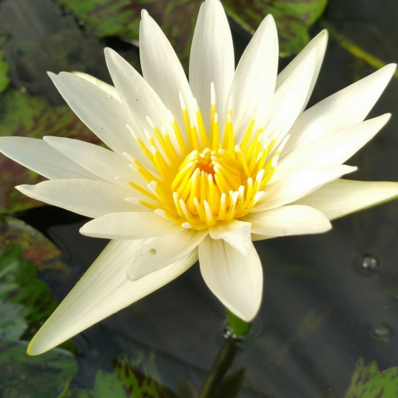 CRYSTAL - TROPICAL WATER LILY PREMIUM $59.95