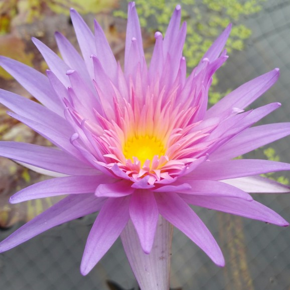 FIREFOX- TROPICAL WATER LILY PREMIUM $59.95