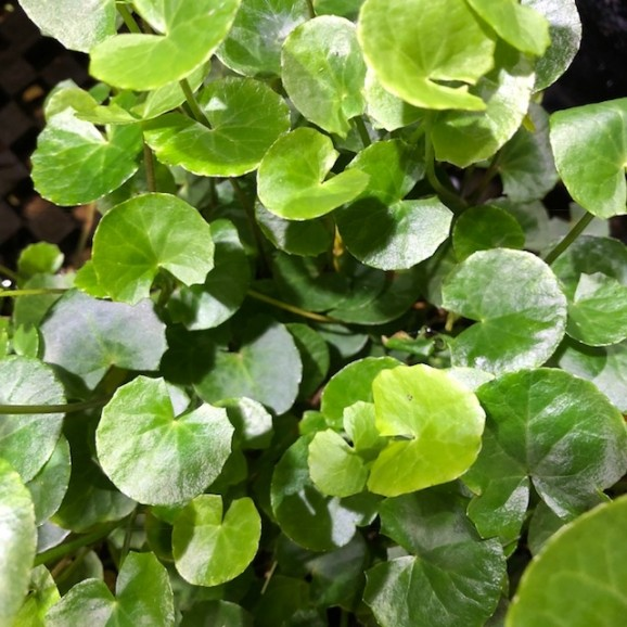 WATER PLANTS - GOTA COLA $11.95