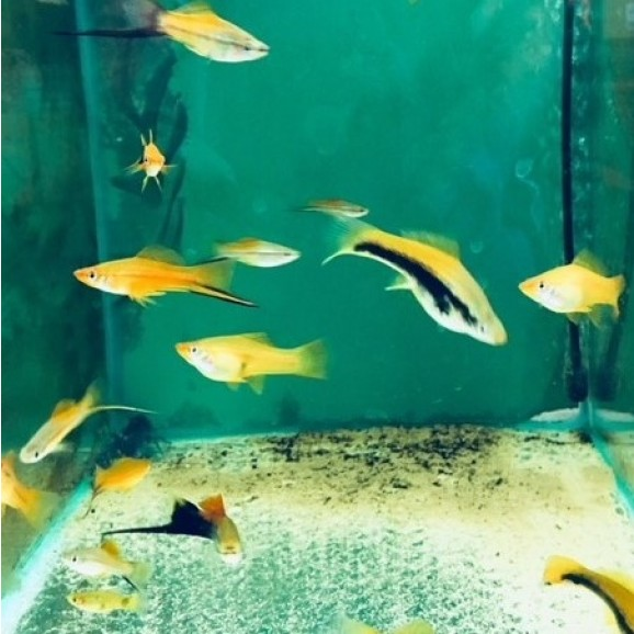 FISH - SWORDTAILS