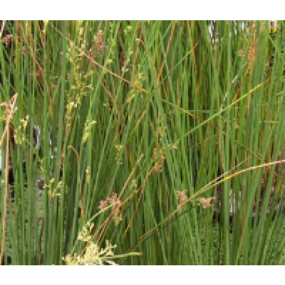 WATER PLANTS - JUNCUS $11.95