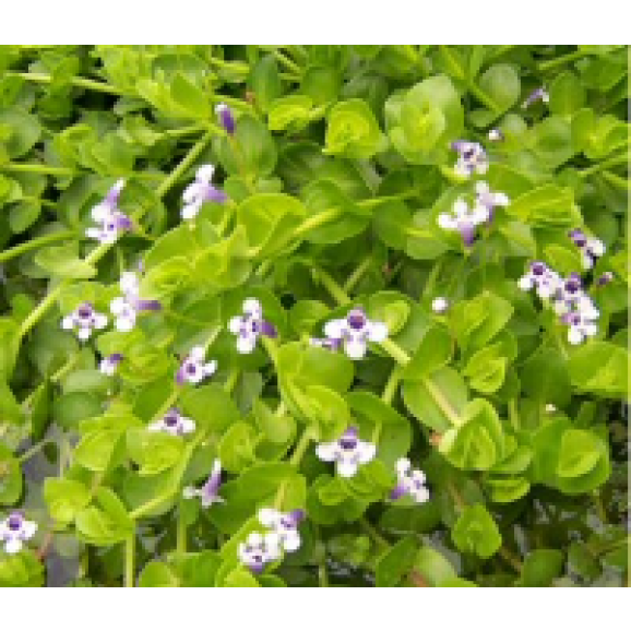 WATER PLANTS - MONEYWORT $11.95