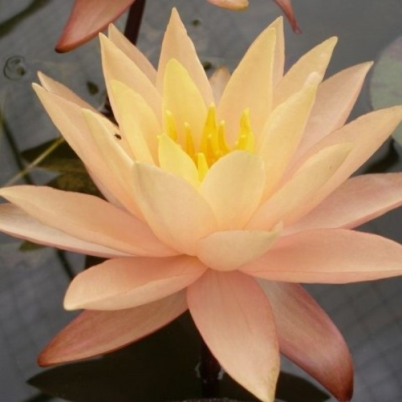 KARLEEN HARDER - HARDY WATER LILY $34.95