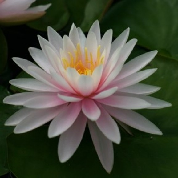 PEARL OF THE POOL - HARDY WATER LILY $34.95