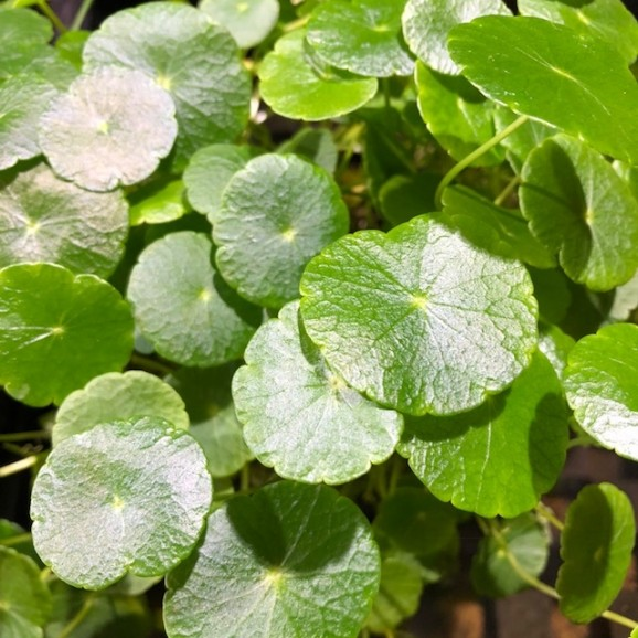 WATER PLANTS - PENNYWORT $11.95