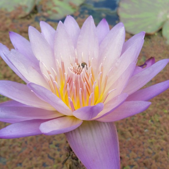 SOUTHERN CHARM - TROPICAL WATER LILY PREMIUM $59.95