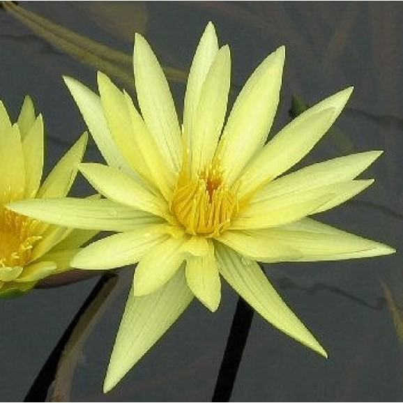 ST LOUIS GOLD - TROPICAL WATER LILY $44.95