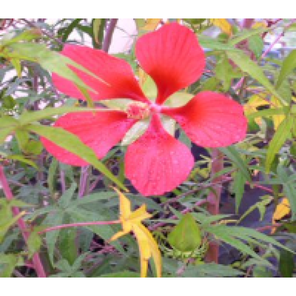 WATER PLANTS - SWAMP HIBISCUS $11.95