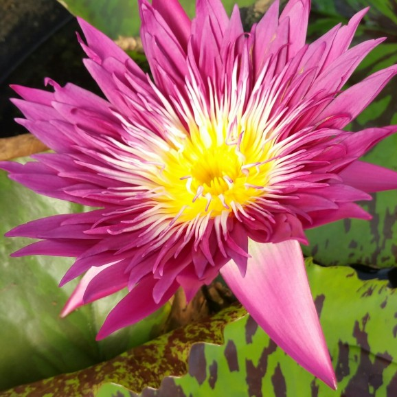 TROPICAL PUNCH - TROPICAL WATER LILY PREMIUM $59.95