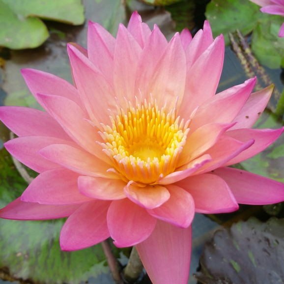 TROPICAL SUNSET - TROPICAL WATER LILY PREMIUM $59.95