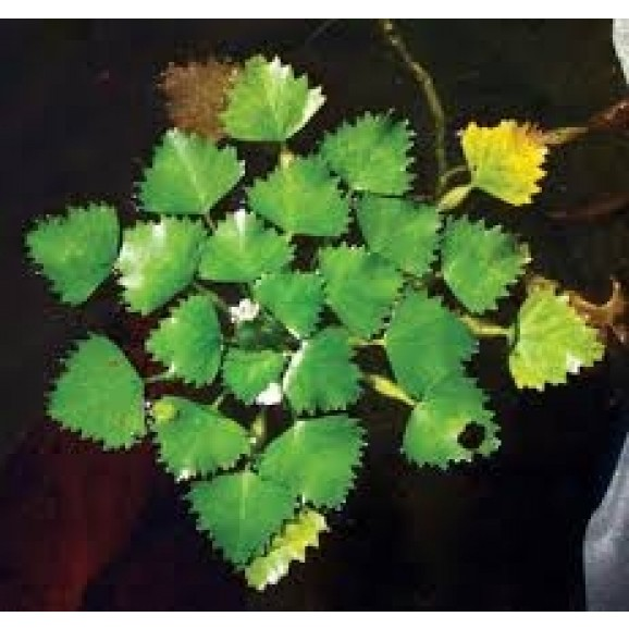 WATER PLANTS - WATER CHESTNUT $11.95