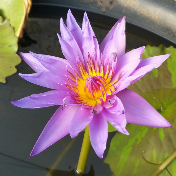 WILLIAM MACLAINE - TROPICAL WATER LILY $44.95